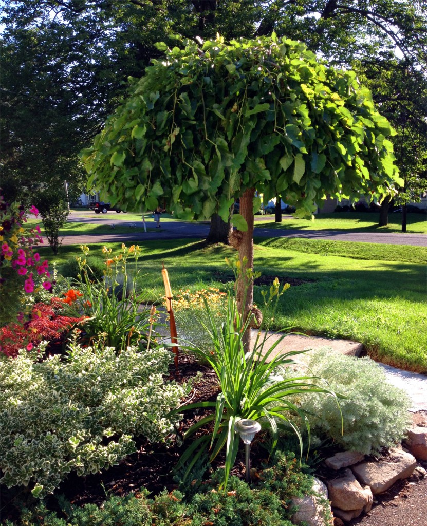 The appeal of the weeping mulberry geranium blog for Garden trees photos