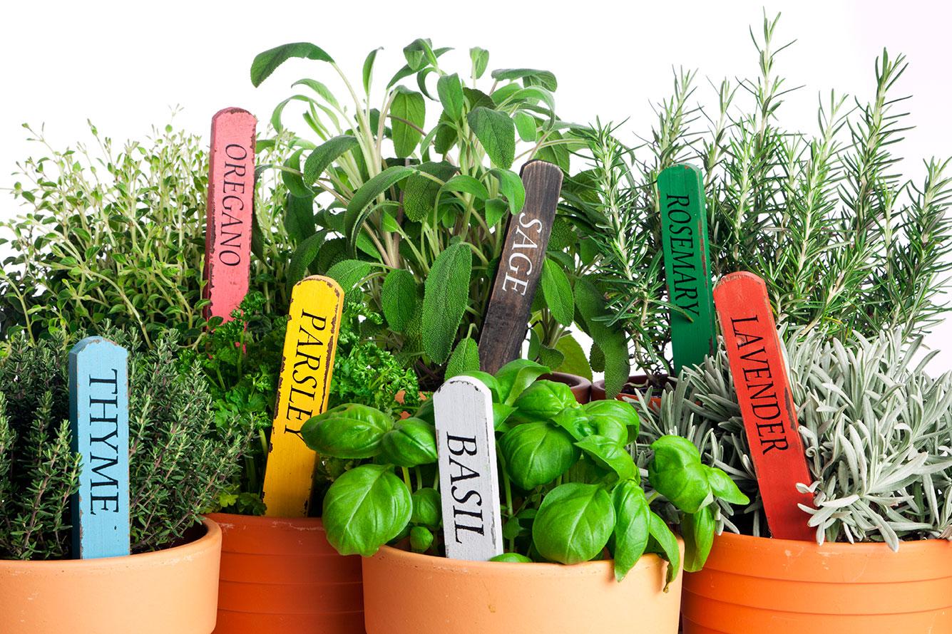Growing Your Herb Garden Indoors Geranium Blog