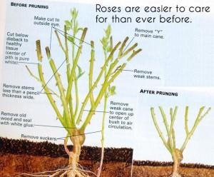 rose_pruning-1