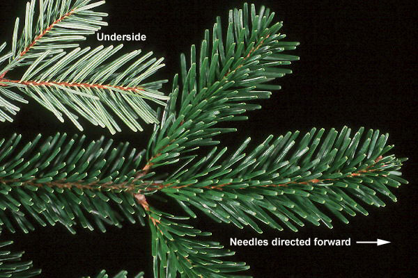 The  dark glossy needles of the Nordman Fir are delicate to touch and last long indoors.