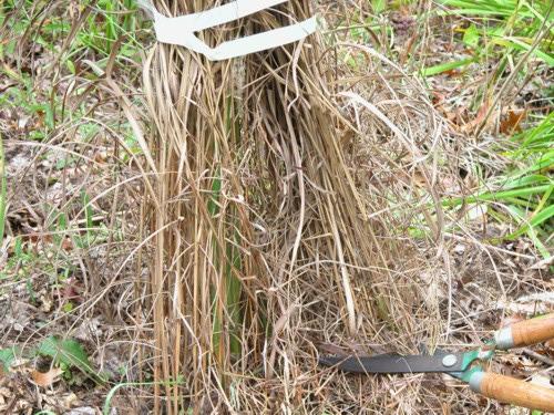 Cut back warm season ornamental grasses in Spring.