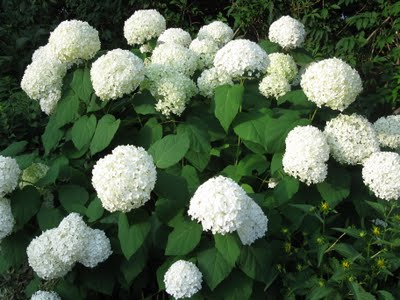 The Annabelle is one type of Hydrangea that can be pruned in early spring.