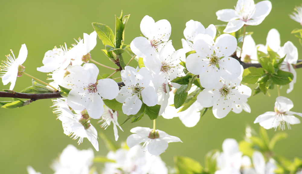 Apply a dormant oil treatment now to ensure beautiful spring blossoms.