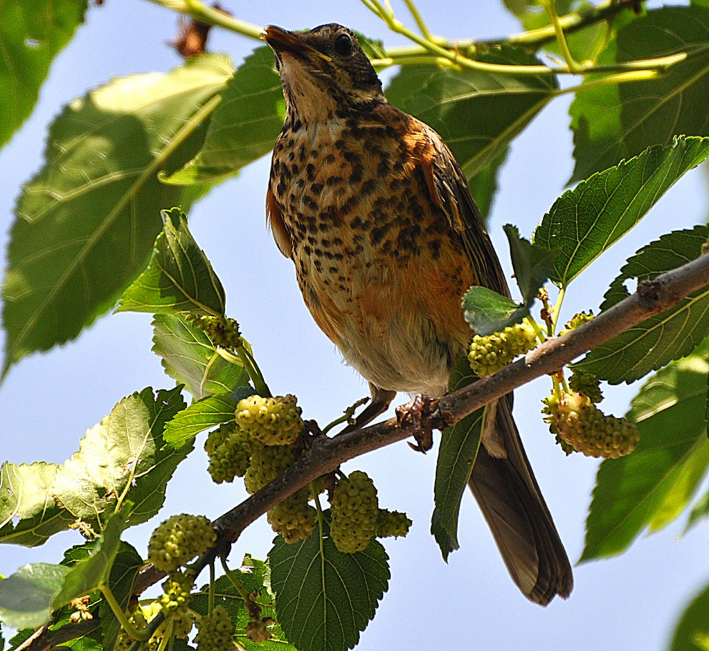 Baby Robin anxious for the berries to ripen