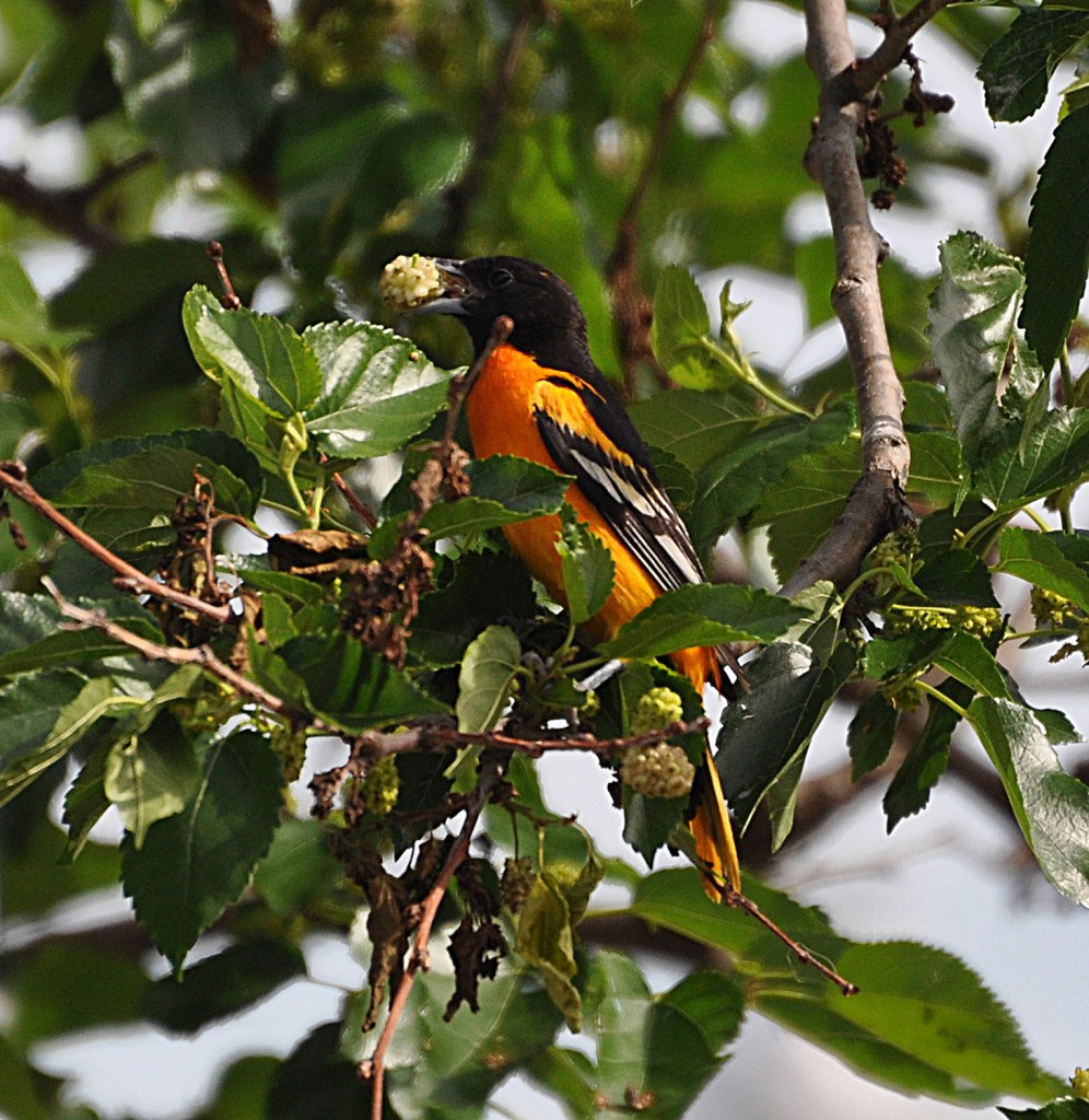Mulberries will attract many bird species, like this Oriole, but can prove to be a bit messy.