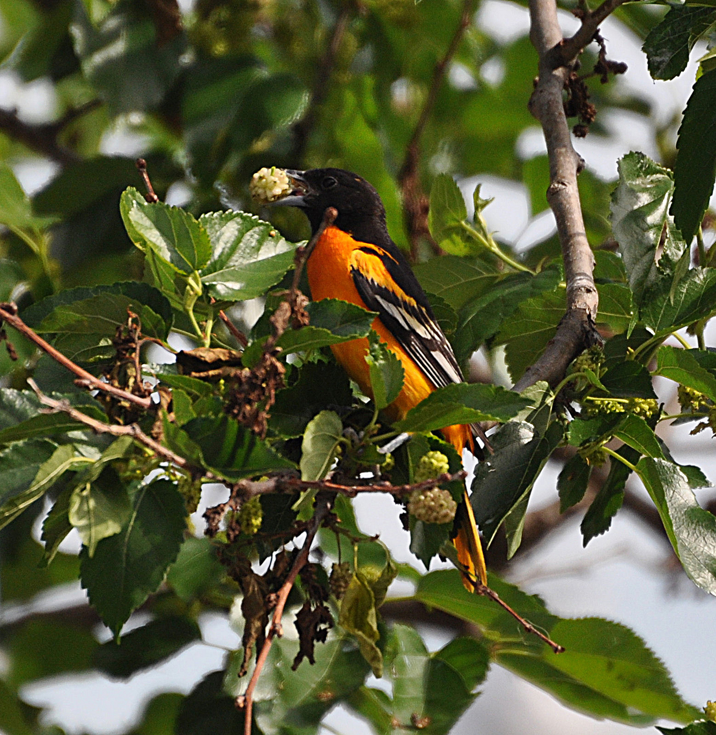 Mulberries Will Attract Many Bird Species Like This Oriole But Can Prove To Be