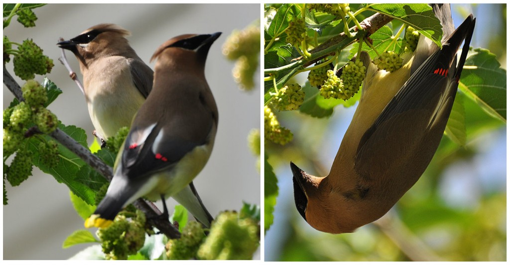 Lovely shots of Waxwings in Lorna's Mulberry.