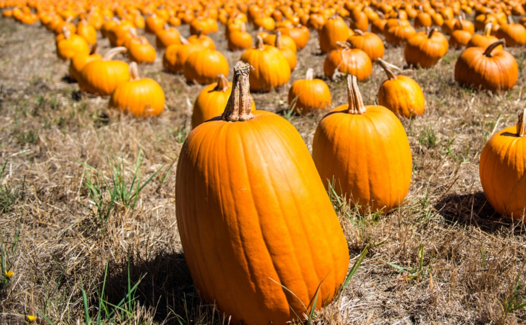 It's easy to get lost in the diverse world of pumpkin things, so know what you want before you get there